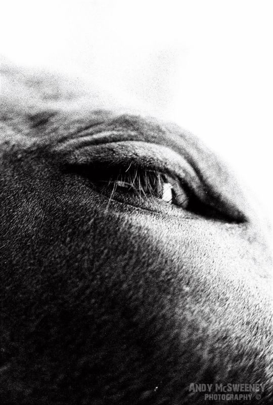 Black and white detail of a cow's eye in South-India