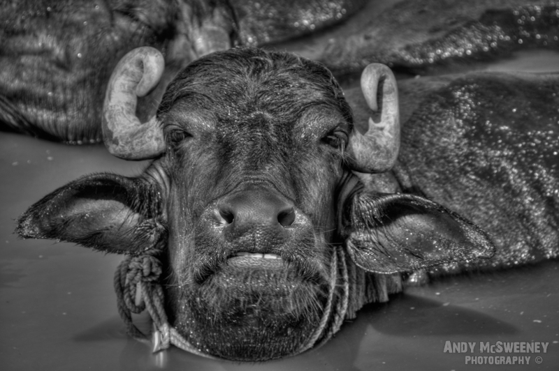 Black and white close-up photo of a bathing water buffalo in the holy river Ganges in Varanasi, India