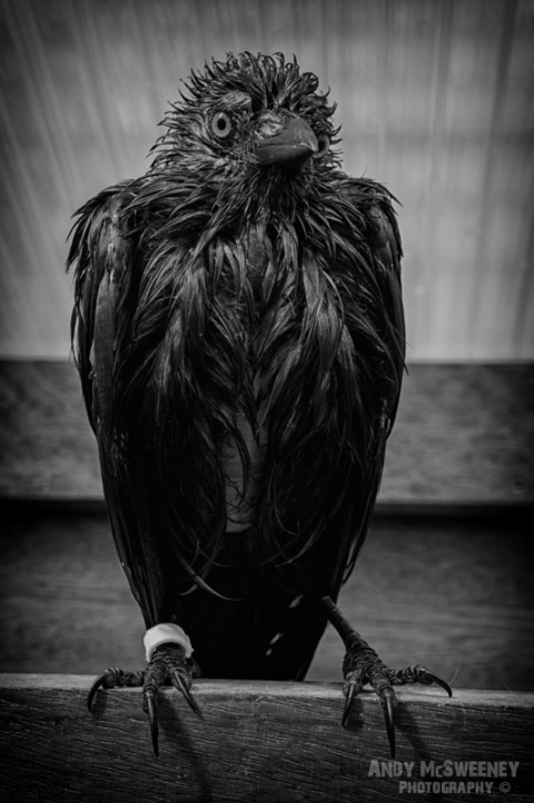 Black and white of Roofie The Bird after his daily bath in Brugge, Belgium