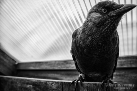Close-up of Roofie The Bird sitting on a wooden beam in his home in Brugge, Belgium